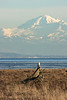 Snowy Owl with background of Mt. Baker, Washington state.