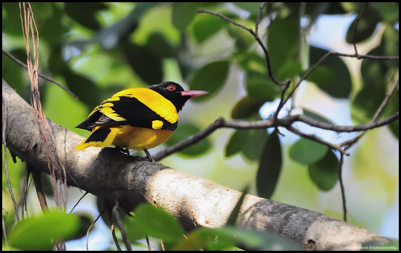 Black headed Oriole..., a beautiful bird.....
