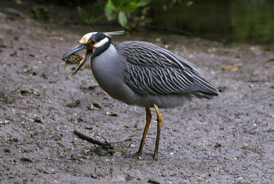 Yellow crown night-heron with favored crab food.