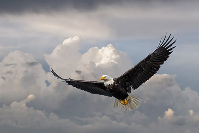 Bald eagle in flight minus cloud  3188-