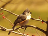 Tufted titmouse (Baeolophus bicolor) in Hatfield [photo by Rob Yoder]
