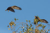 cormorant defends its treetop fortress from the Osprey