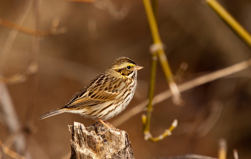 Savannah Sparrow too far north