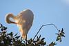 Egret Preening in Morning Light