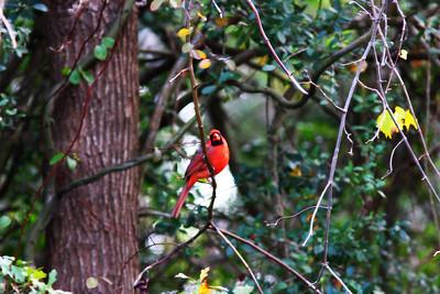 Adult male Cardinal