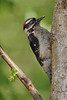 He froze when he saw me - imitating a branch?<br /> <br /> Male Downy Woodpecker, Richmond, BC