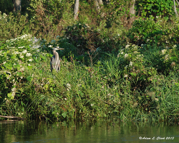 Great Blue Heron, bird, water