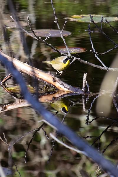 Common Yellowthroat warbler, male - Geothlypis trichas.