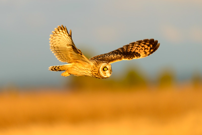 Short-eared Owl   Boundary Bay, British Columbia