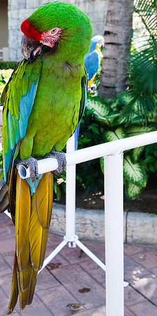Green Parrot at Paradise Village