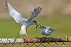 Forster's Tern Feed her Fledgling