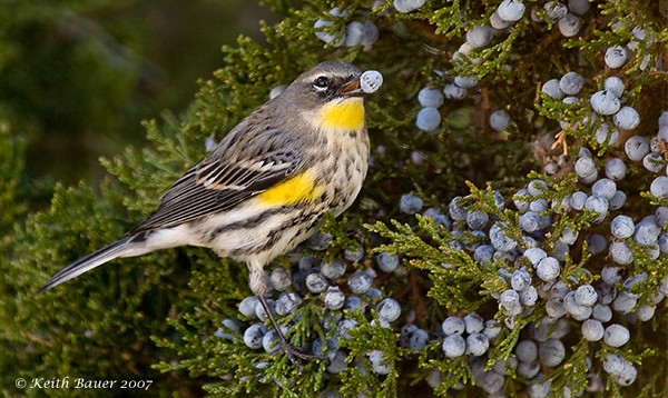 Another Yellow Rumped Warbler Eating Berries