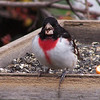 Rose-breasted Grosbeak;