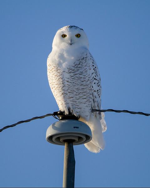 Female Snowy Owl<br /> Edmonton, Alberta