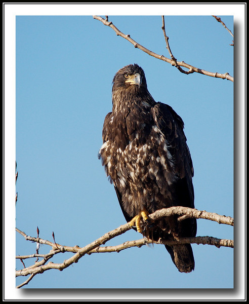 Juvenile Bald Eagle<br /> At Boundary Bay Airport w/Sony A700 + Sigma 50-500 (Bigma)