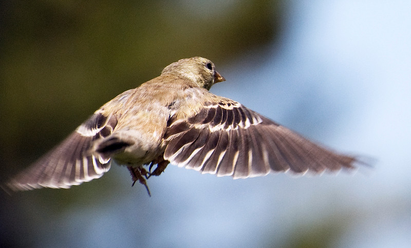 Flying Finch: female house finch flying away.