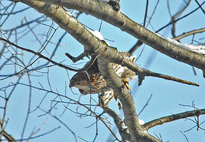 Immature Broadwinged Hawk at home