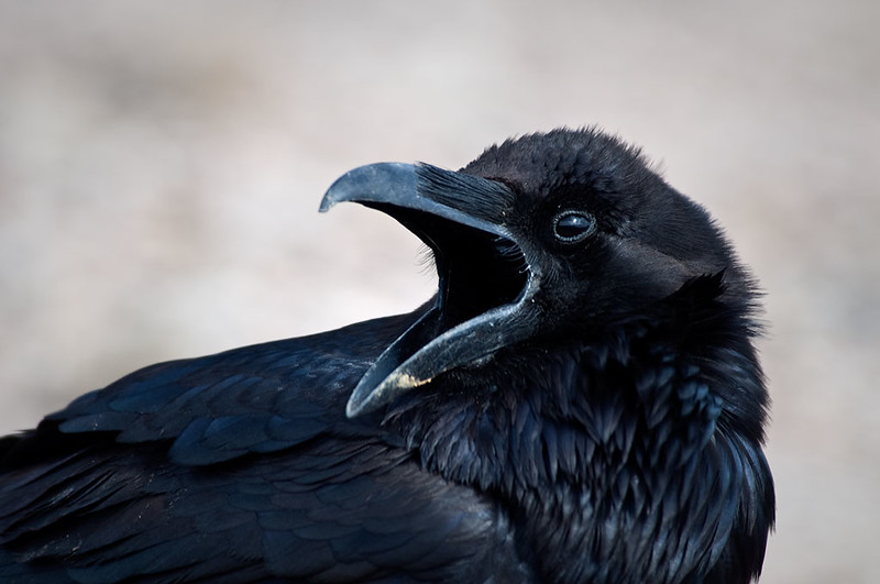 Crow that followed us for a day in Death Valley