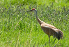 Sand Hill Crane in Tall Grass