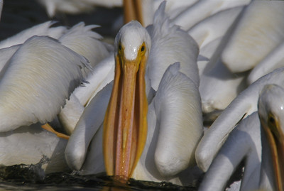 White Pelicans.  Feeding frenzy in Ding Darling.