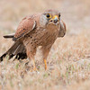Common Kestrel , shot in Salalah - OmanCanon EOS 40D + Canon EF 500mm f/4L lens.