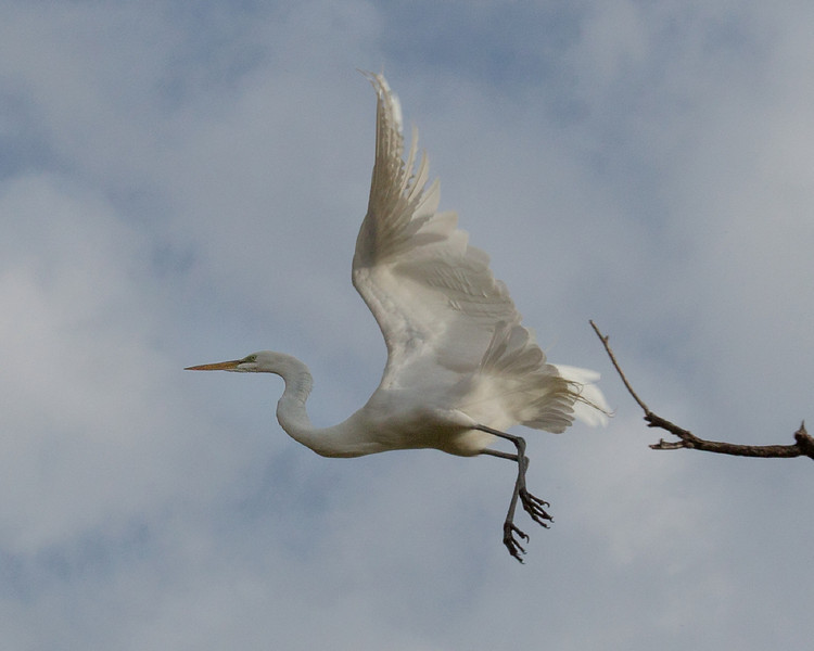 Egret lift off