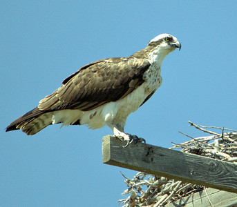 Yellowstone Osprey
