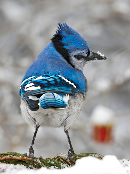 I have quite a few blue jays coming to my feeders for peanuts. Male and female blue jays look alike, but if I was to guess I would say this is definitely a female. There is just something feminine about it.