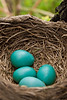 American Robin Nest with Eggs, Belmont County, Ohio