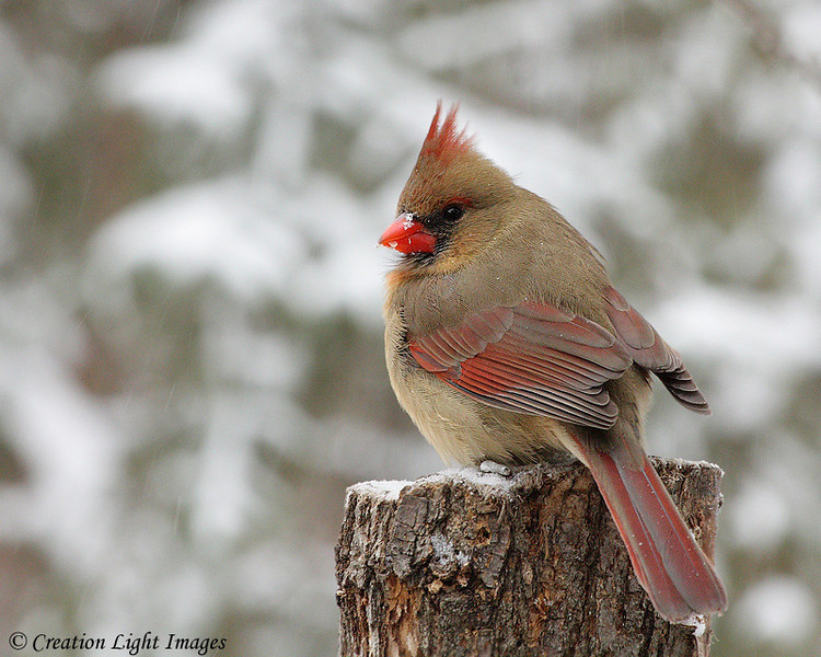 Northern Cardinal 3 - female