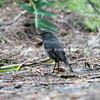 South Island Robin standing on forest floor