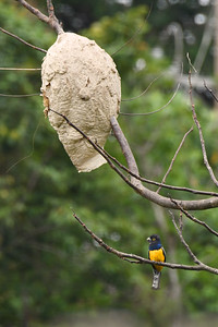 Violaceous Trogon with Wasp Nest