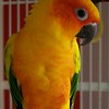 This is our Sun Conure Castor Troy. He is just over 12mths old and is a wonderful companion.