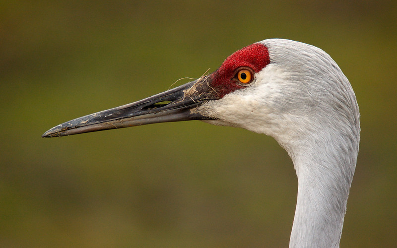 Sandhill Crane at Reifel