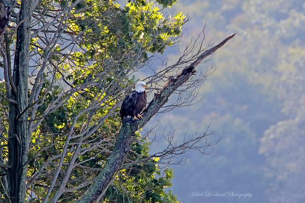 Bald Eagle on Long Island , NY.   10-03-18
