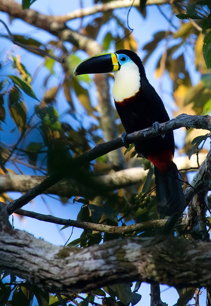 Channel-billed Toucan (<i>Ramphastos vitellinus</i>) Bahuaja-sonene National Park, Amazon, Peru