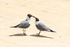 Adult Breeding Laughing Gulls