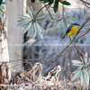 Bird, Eastern Yellow Robin.