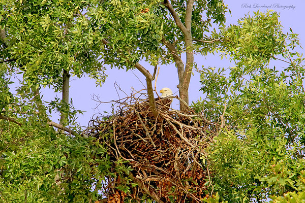 Bald Eagle in nest on Long Island ,NY.   10-05-18