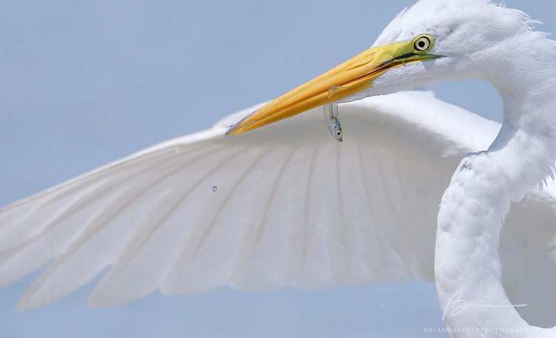 egret and fry