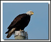 Bald Eagle at Boundary Bay, Delta, BC.