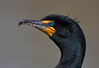 Double Crested Cormorant-portrait