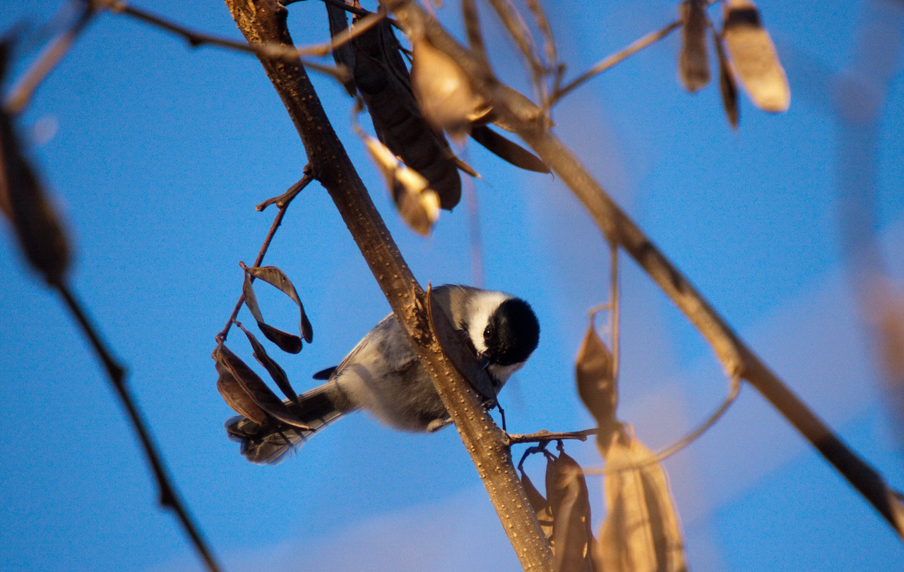 Chickadee looking to eat