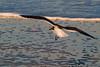 Gull9069