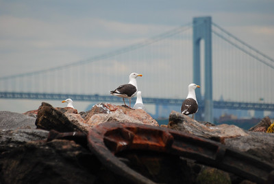 black-backed gulls with New York's Verrazano Bridge in the background.