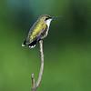 Ruby-throated Hummingbird, Female