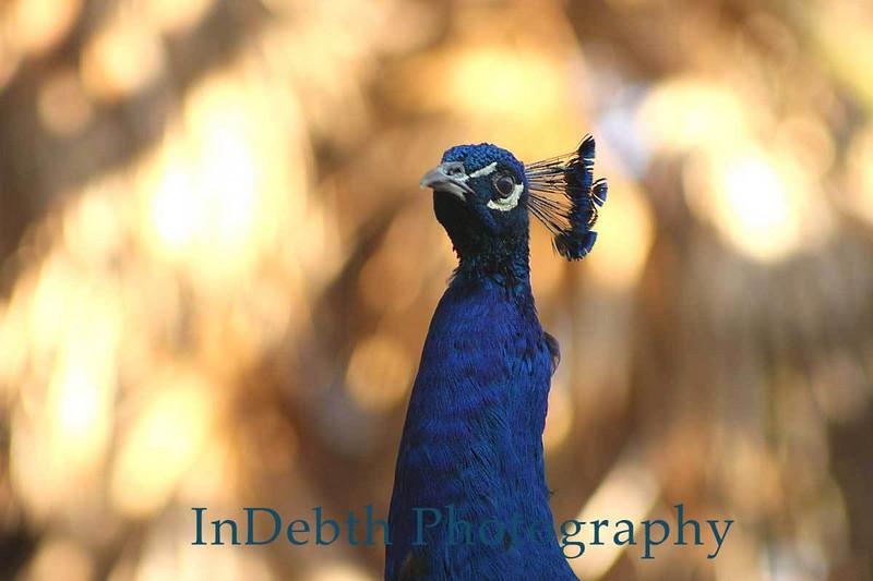 5378-Peacock