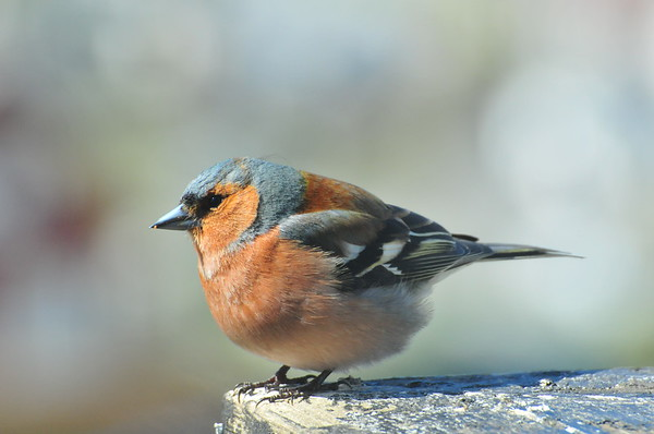 Fuglar på fuglabrettet