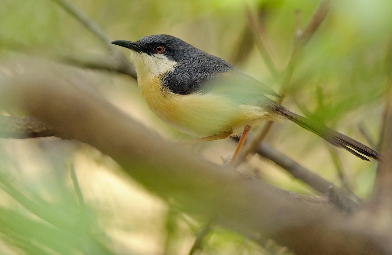 Ashy Prinia.... A dreamy feel..., the way this skittish bird, hops around amongst the bushes.....