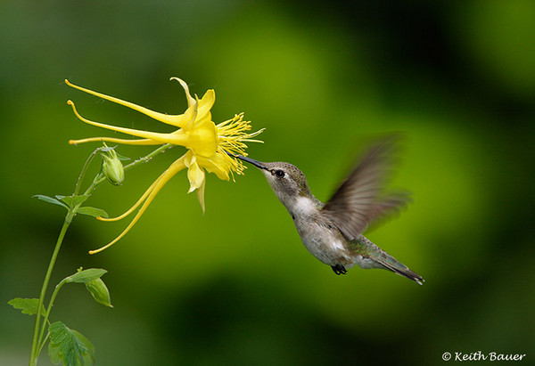 Female Black-Chinned Hummer taking a sip from a Columbine